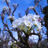梨の花が咲きました